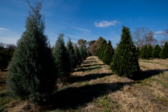 Neat rows of Christmas trees line about six acres of the Falcon Ridge Farm in Toone, owned by the Gilmer family for nearly 20 years, on Nov. 18, 2019. The Carolina Sapphire variety, left, has a strong Christmas-tree aroma. Murray Cypress trees, right, have deeper green needles.