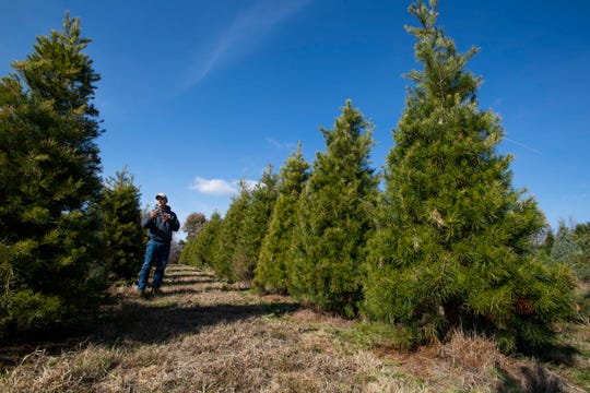 Ray Gilmer stands among Christmas trees he has cared for and shaped for the last several years at the Falcon Ridge Farm in Toone, Tenn. on Nov. 18,  2019.
