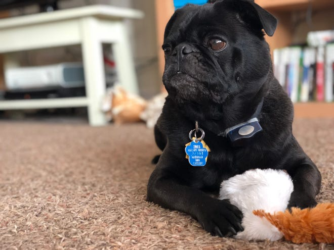 Rex the renegade pug escaped his Milford home on Halloween and made his way into the GM Proving Ground. He is still missing.