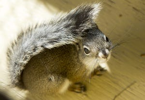 About 109 Mount Graham red squirrels now are left in the wild, wildlife officials say.