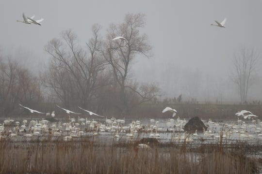 While this common North American waterfowl can be found all throughout the wildlife refuge grounds, many are congregating at its large pool on the south end, just east of the trail parking lot.
