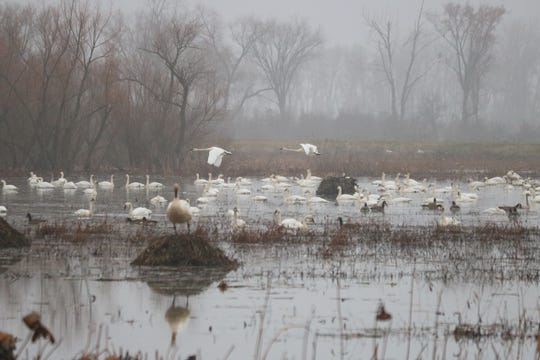 With a chattering racket billowing across the vast wetlands and woods, hundreds of pairs of trumpeter swans are making their presence known at theOttawa National Wildlife Refuge.