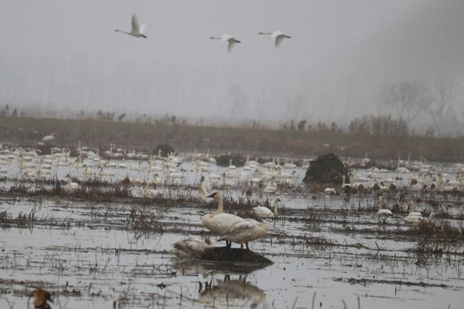 Hundreds of trumpeter swans have gathered at the wetlands of the Ottawa National Wildlife Refuge.