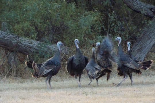 Wild turkeys gather at Lake Nasworthy in early November 2019.