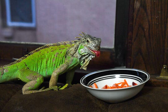 Zenna the iguana eats a snack of strawberries and carrots on Monday, Nov. 18, at the Tinch's house in Sioux Falls.