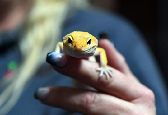 Terina Tinch holds a leopard gecko she keeps as a pet on Monday, Nov. 18, at her house in Sioux Falls.