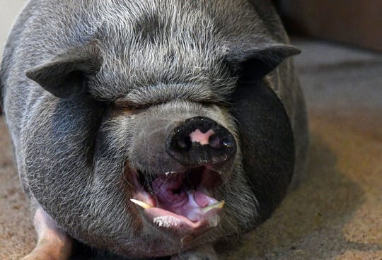 Wilbur the potbellied pig lets out a yawn while laying in Heather Sondergaard's living room on Monday, Nov. 18, at her home in Colton.