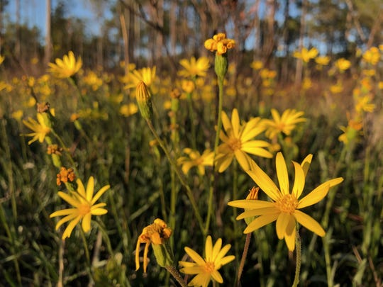 In the fall through early winter, delicate narrowleaf silkgrass stalks are topped with clusters of lemon-yellow blooms.