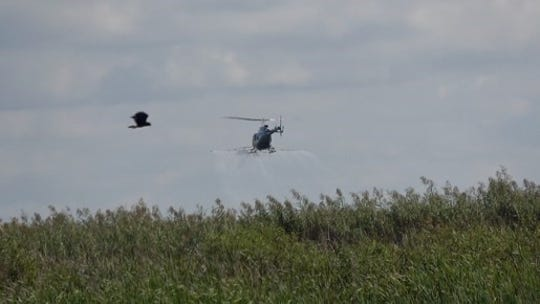 An Everglade snail kite (foreground) flies as a helicopter applies herbicides to the grass island at King's Bar on Lake Okeechobee on Oct. 26, 2019.