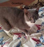 Growltiger