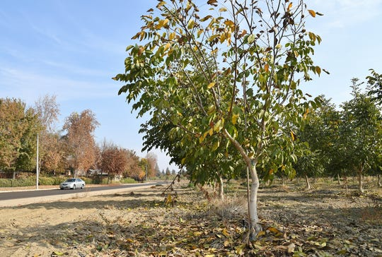 Visalia is selling a city-owned walnut orchard near Highway 198 and Shirk Road to San Joaquin Valley Homes for $1.1 million. The city spent more than $100,000 to plant the 17-acre orchard in 2016. Since walnut trees take 5 years to mature, the orchard will be scrapped before its first harvest.