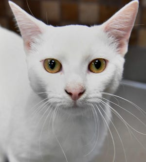 Alfred is a 1-year old, white, domestic short-haired cat. He is super soft and loves to cuddle. Alfred is available for adoption at the Wichita Falls Animal Services Center.