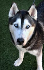 Jax is a 2-year old, black and gray, neutered male Husky mix. He is calm and well-behaved. Jax is available for adoption at the Wichita Falls Animal Services Center.