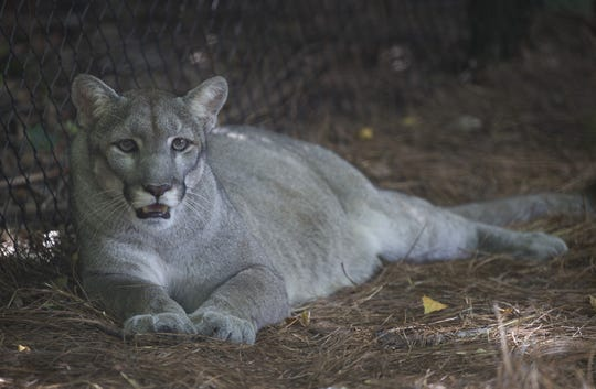 A Florida panther is seen on display at the Palm Beach Zoo on August 22, 2019 in Palm Beach, Florida.  The Florida panther is an endangered species that is further threatened by climate change, a new study suggests.