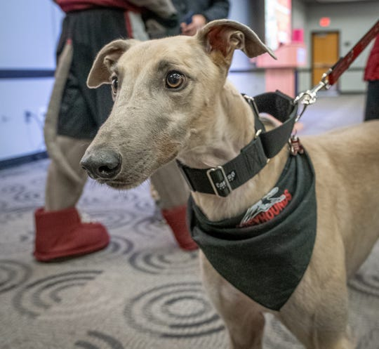 UIndy Greyhound's new live mascot Grady is introduced to the UIndy community in Schwitzer on Wednesday, November 20, 2019.