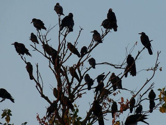 A crow funeral in progress.
