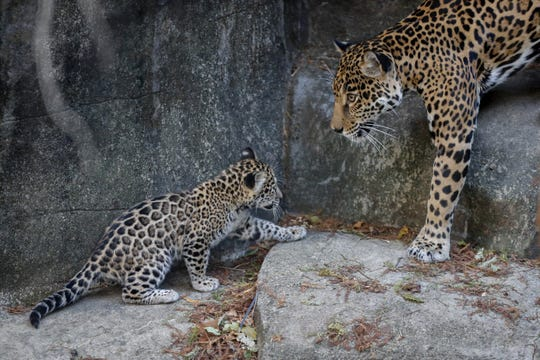 One of the new baby jaguars at the Memphis Zoo walks towards her mother at the public unveiling of the cubs on Wednesday, Nov. 20, 2019.