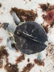A Kemp's Ridley sea turtle is found dead on a Collier County beach. In October, 60 dead sea turtles were found in Collier.