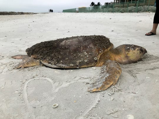 A loggerhead sea turtle is found dead on a Collier County beach. In October, 60 dead sea turtles were found in Collier.