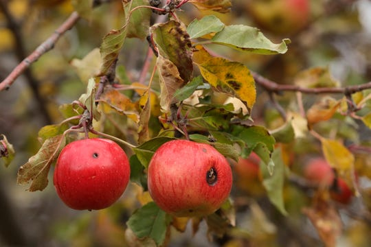 Apples are shown in an orchard at a remote homestead near Pullman, Wash.