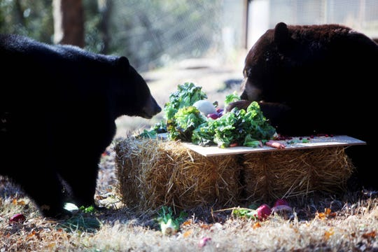 Lil Bear and Yona, both American black bears, enjoy a feast Tuesday, Nov. 19, 2019, at Dickerson Park Zoo.