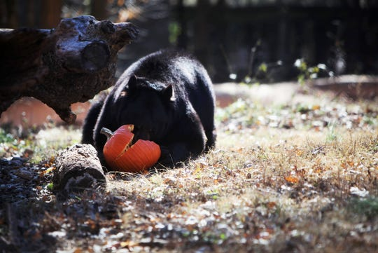 Yona dives into a honey-infused pumpkin Tuesday, Nov. 19, 2019, at Dickerson Park Zoo.