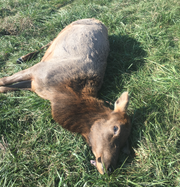 MDC hopes the public can help identify who shot this female elk and left it to rot in Carter County.