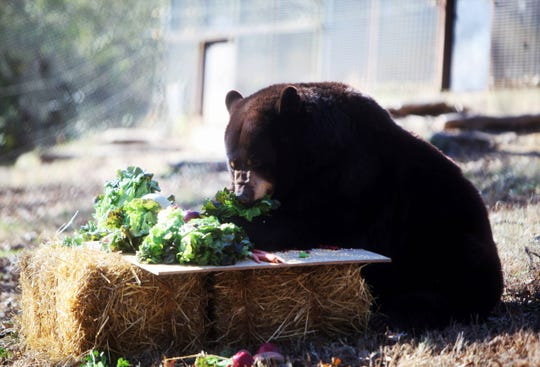 Lil Bear munches on lettuce Tuesday, Nov. 19, 2019, at Dickerson Park Zoo.