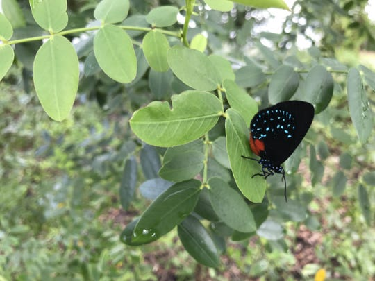 Rare atala butterflies are attracted to coontie plants at the Environmental Studies Center on Indian River Drive in Jensen Beach