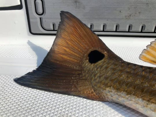 Redfish are being caught from Titusville to Sebastian.
