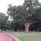 The Salem Oak, which was an estimated 600 years old, stood on the grounds of the Salem Friends Meeting.
