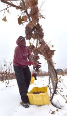 Jorge Gomez of Suttons Bay harvests Riesling grapes in the vineyard at Shady Lane Cellars south of Suttons Bay.