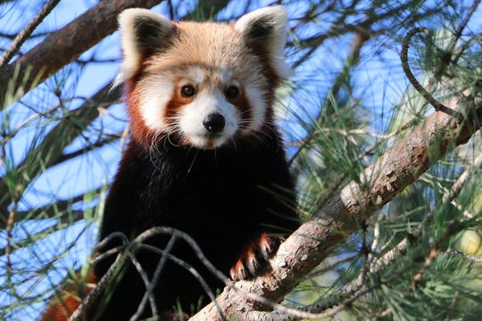 The Saint-Martin-la-Plaine zoo said the red panda escaped last Friday by climbing branches broken by snowfall and swinging from tree to tree.