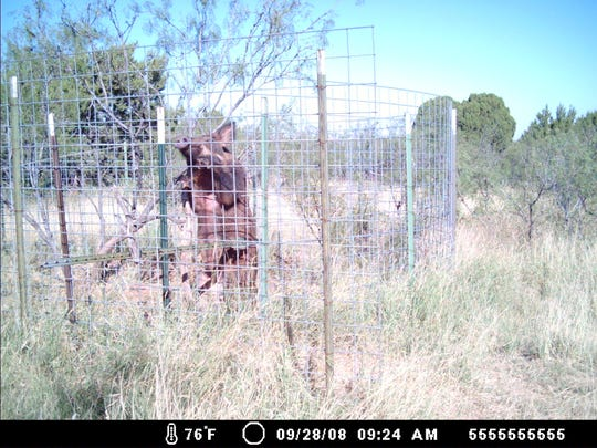 Feral pigs are smart. The one shown above has learned how to enter a corral trap, eat the bait, and then escape by climbing out of the woven wire fence.