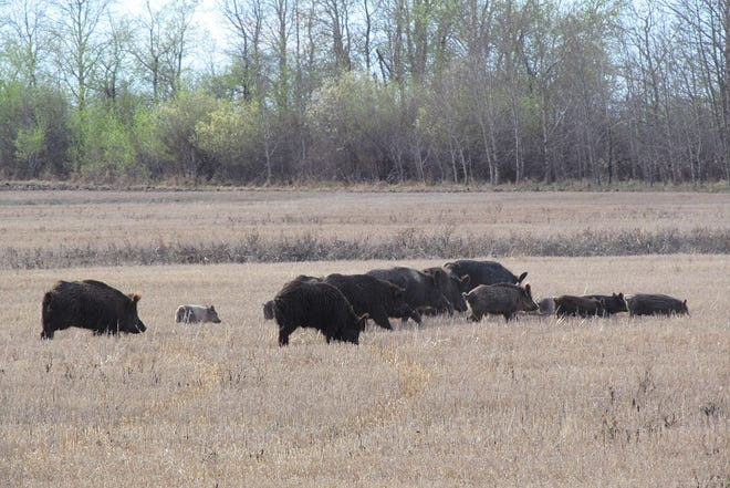 A group of feral pigs roots through a field in Saskatchewan.