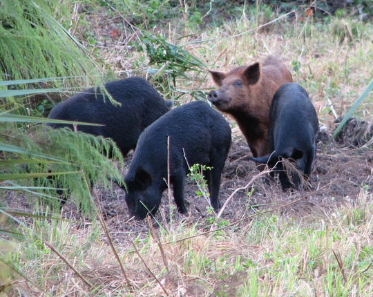 Feral pigs in Florida