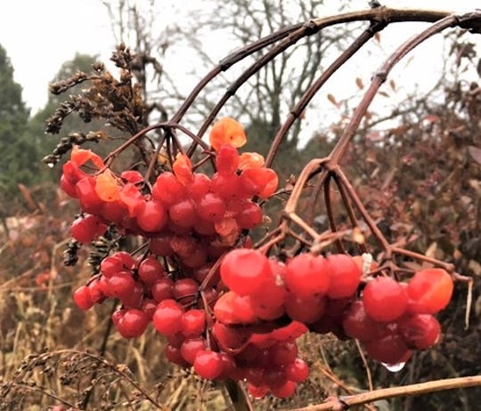 Wild American highbush cranberries at Woodland Dunes Nature Center and Preserve in Two Rivers.