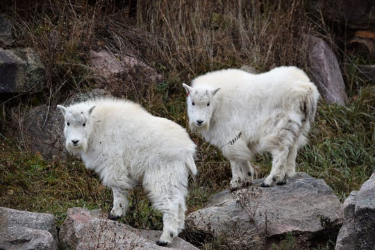 Tom and Ruby, a pair of mountain goat kids, arrived Nov. 10, 2019, at Wildwood Zoo in Marshfield, Wisconsin.