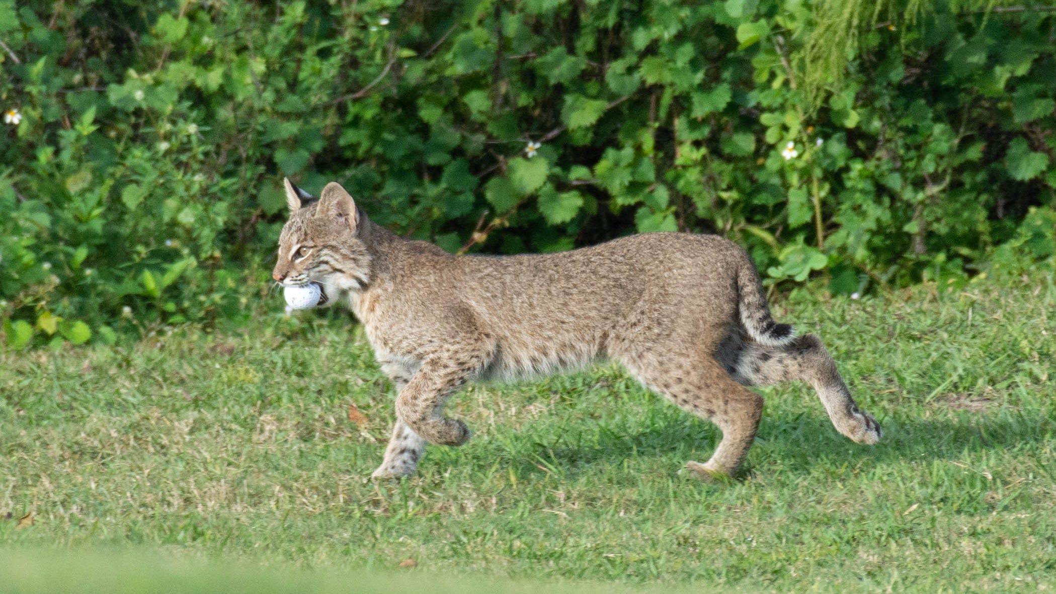 bobcat - photo #36