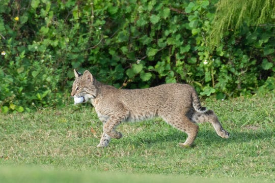A bobcat kitten, about 4 to 5 months old, according to the Florida Fish and Wildlife Conservation Commission, holds a golf ball in its mouth on the Bonita Fairways Golf Course in Bonita Springs.