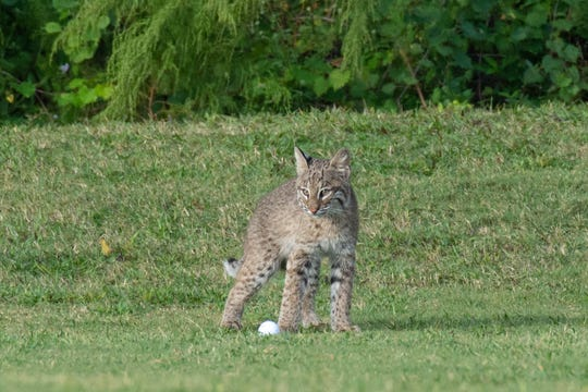 A bobcat kitten, about 4 to 5 months old, according to the Florida Fish and Wildlife Conservation Commission, plays with a golf ball on the Bonita Fairways Golf Course in Bonita Springs.