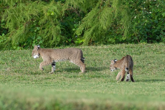 Bobcat kittens, about 4 to 5 months old, according to the Florida Fish and Wildlife Conservation Commission, play with a golf ball on the Bonita Fairways Golf Course in Bonita Springs.