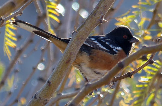 A spotted towhee pauses in a mesquite tree in southern New Mexico.
