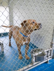 A dog available for adoption at the Escambia County Animal Shelter in Pensacola on Wednesday, Nov. 20, 2019.