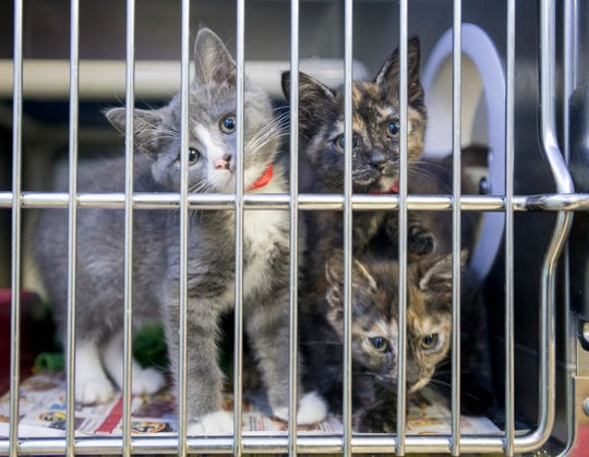 Cats available for adoption at the Escambia County Animal Shelter in Pensacola on Wednesday, Nov. 20, 2019.