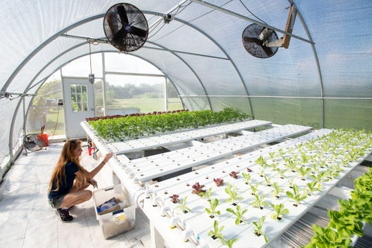 "Kayla Sinotte, House of Hope production farm supervisor, checks on lettuce being grown in a greenhouse Tuesday, Oct. 22, 2019, at the farm in Palm City. Sinotte has been experimenting with the best ways to grow produce efficiently, including aeroponic towers and a nutrient film technique, producing about 5,000 pounds of food per month. Currently, the main focus is on leafy greens and herbs, but other vegetables like sweet potatoes and black beans are being grown and plans for fruit trees and a packing house are on the horizon. Low income House of Hope clients have access to the produce just hours after it is harvested. ""They're really getting the freshest food in Martin County,"" Sinotte said."