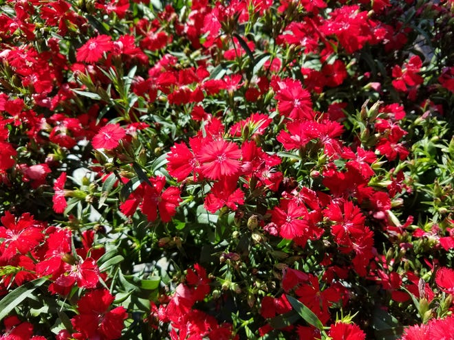Add some color to your winter garden by planting dianthus.