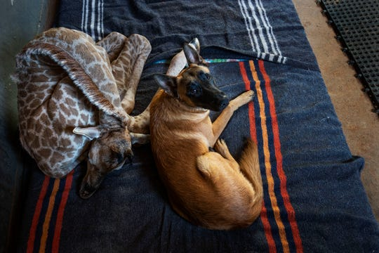 Hunter, a young Belgian Malinois, keeps an eye on Jazz, a nine-day-old giraffe, at the Rhino orphanage in the Limpopo province of South Africa.