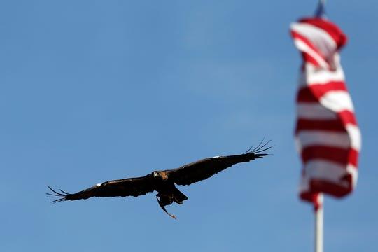 Auburn's eagle, Nova, flies around the stadium before the start of a football game in 2015 between Auburn and Georgia.