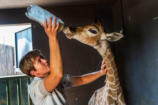 Janie Van Heerden feeds Jazz, a nine-day-old giraffe at the Rhino orphanage.